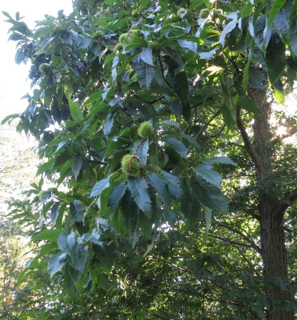 Castanea dentata (American Chestnut) at the Halifax Public Gardens