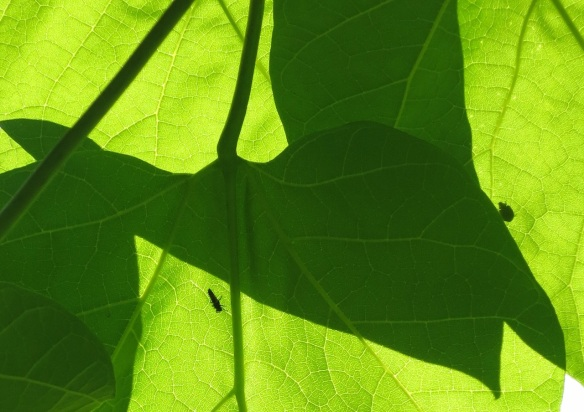 Catalpa leaves backlit at the Halifax Public Gardens