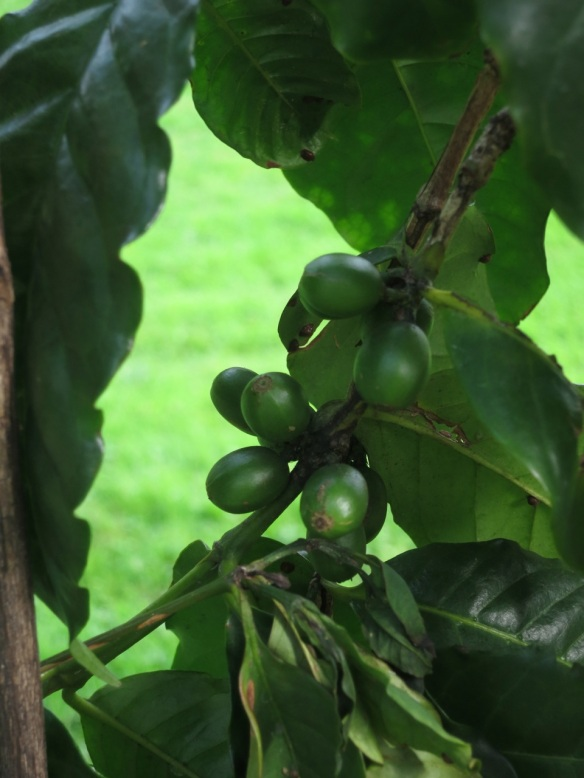 Coffee beans at the Halifax Public Gardens