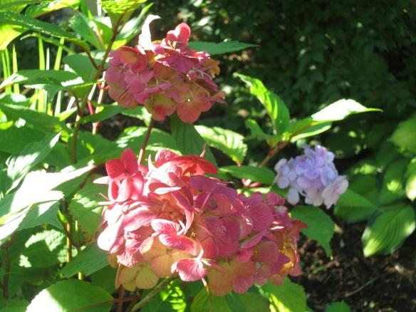 Hydrangea at the Halifax Public Gardens