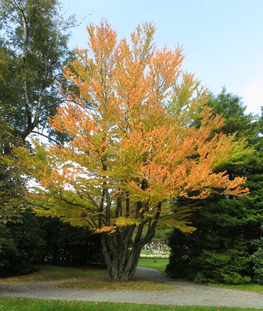 Katsura tree at the Halifax Public Gardens