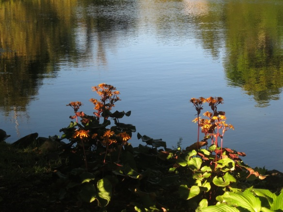 Ligularia on Griffin's Pond