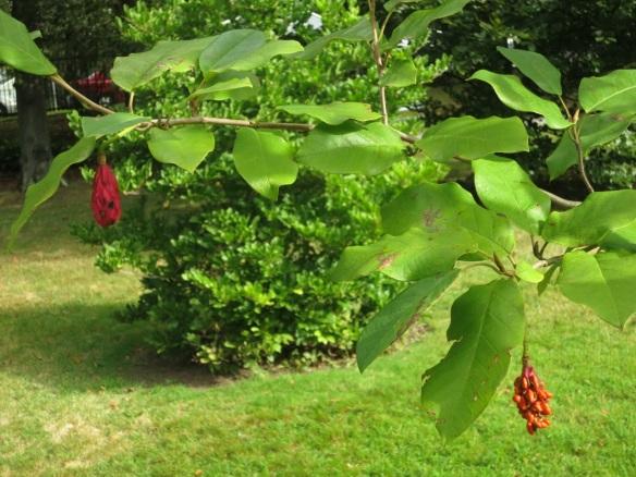 Magnolia at the Halifax Public Gardens
