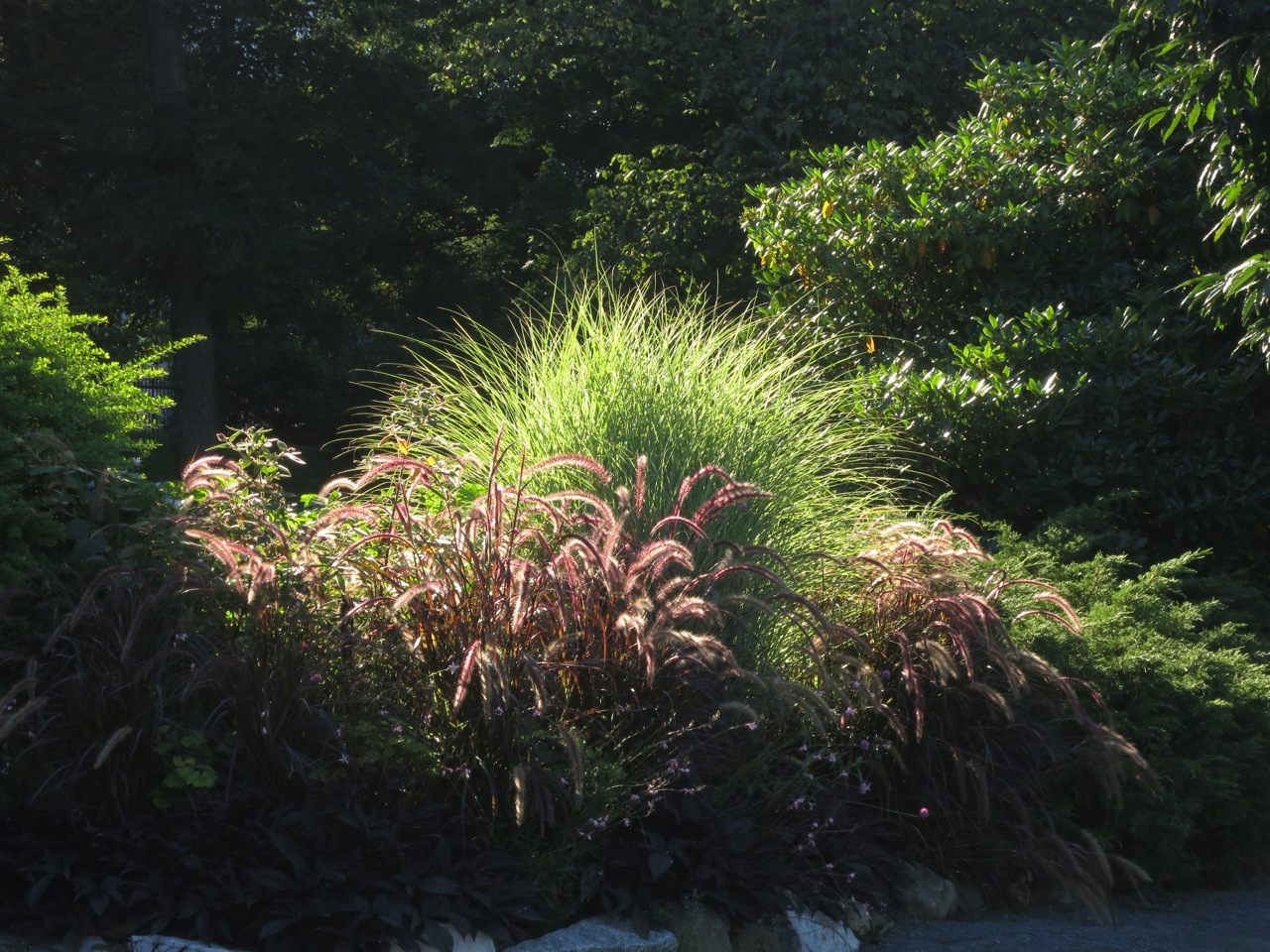 Miscanthus sinensis along the gardens path for Maiden fountain grass