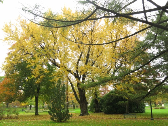 Acer saccharinum (Silver maple tree) at the Halifax Public Gardens