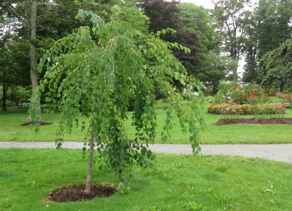 Cercidiphyllum japonicum Pendula (Weeping Katsura tree) at the Halifax Public Gardens