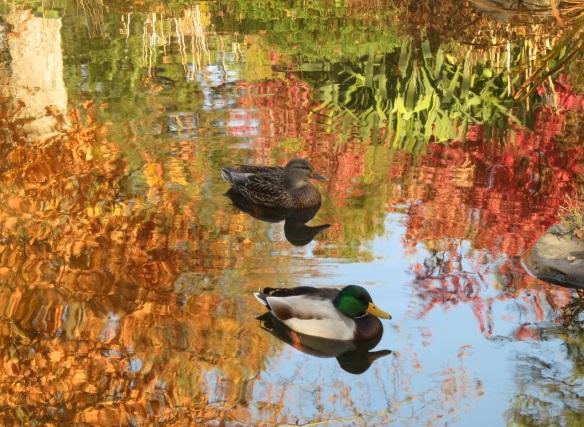 Ducks at the Halifax Public Gardens