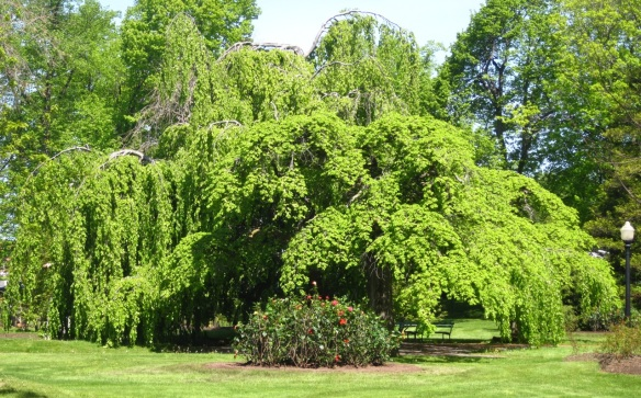 Fagus sylvatica Pendula (Weeping European beech tree) at the Halifax Public Gardens