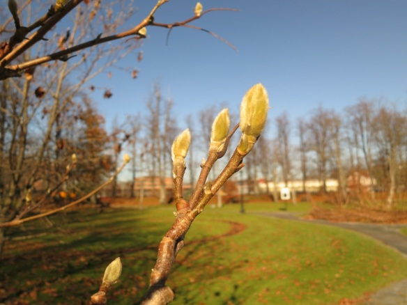 Magnolia flower buds at the Halifax Public Gardens