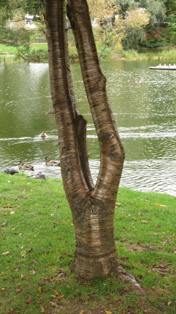 Betula lutea (Yellow birch tree) at the Halifax Public Gardens