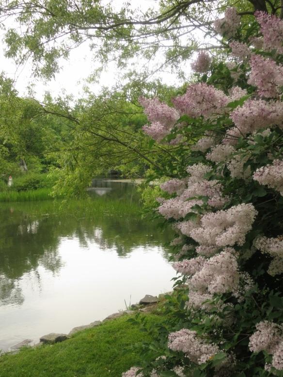 Syringa (Lilac tree) at the Halifax Public Gardens