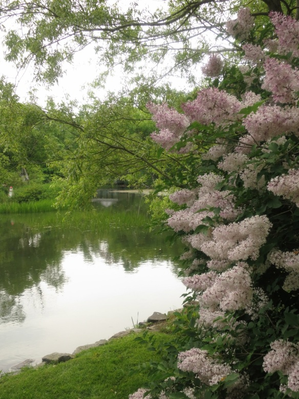 Syringa (Lilac tree) at the Halifax Public Gardens