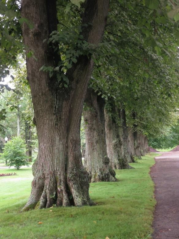 Tilia x europaea (European linden tree) at the Halifax Public Gardens