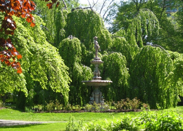 Weeping European beech tree at the Halifax Public Gardens
