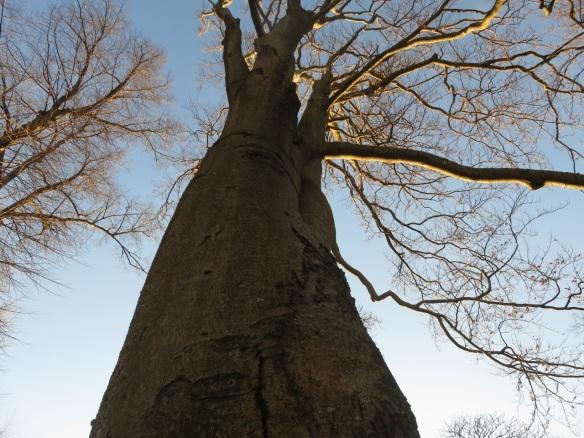 Fagus sylvatica ( European Beech tree) at the Halifax Public Gardens