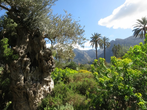 Olive tree in the Botanical Garden in Soller, Mallorca