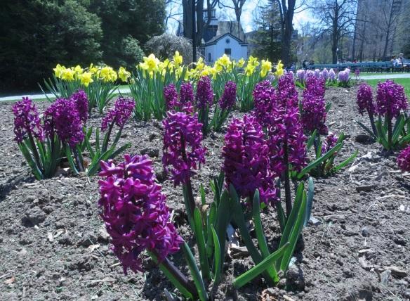Hyacinths at the Halifax Public Gardens
