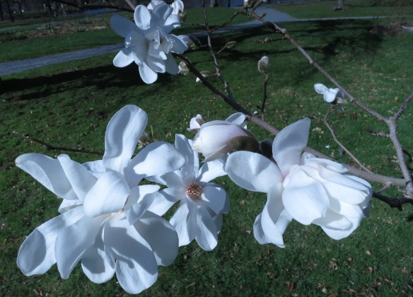 Magnolia stellata at the Halifax Public Gardens