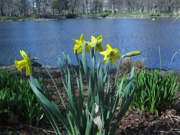 Narcissus (Daffodils) by Griffins pond at the Halifax Public Gardens