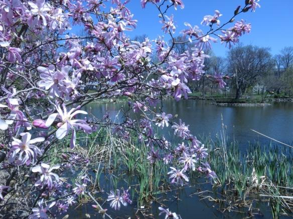 Magnolia stellata at the Halifax Public Gardens