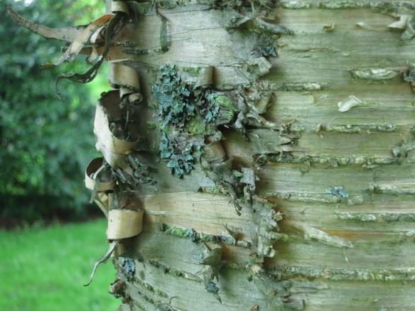 Bark of the Betula (Birch tree) at the Halifax Public Gardens