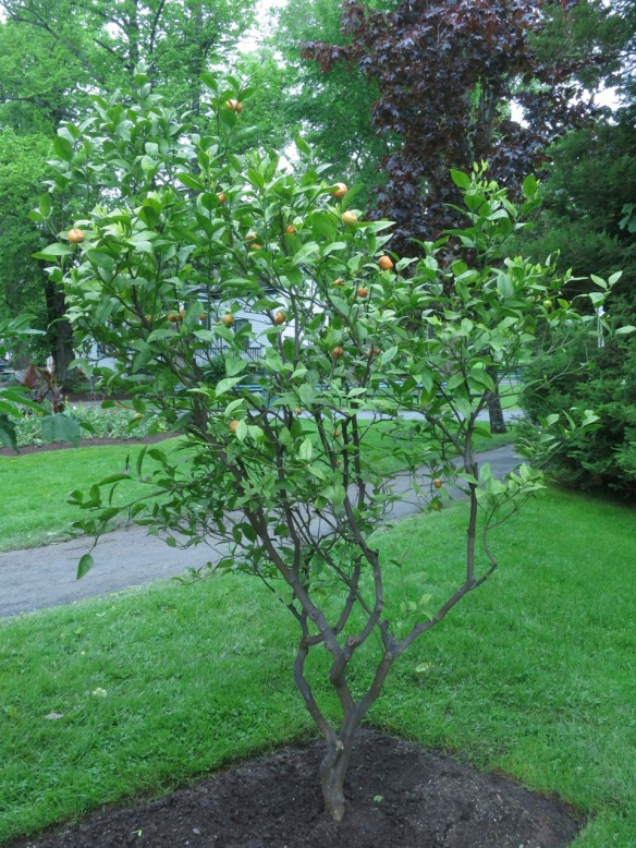 Clementine (Citrus reticulata) at the Halifax Public Gardens