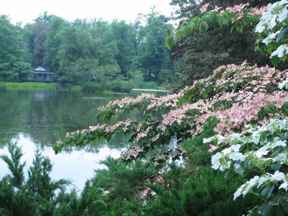 Cornus kousa (Kousa Dogwood) and Viburnum tomentosum at the Halifax Public Gardens