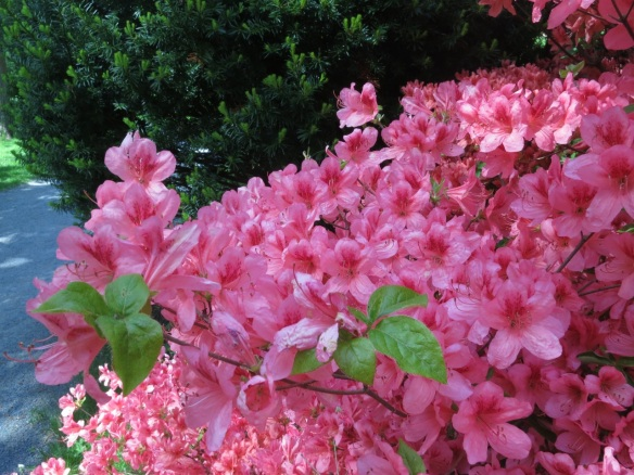 Japanese twin city Azalea at the Halifax Public Gardens