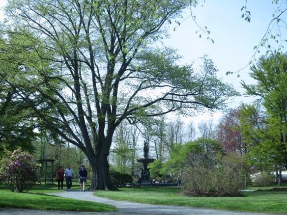 Ulmus glabra var. lutescens ( Golden Elm) by the Jubilee Fountain at the Halifax Public Gardens