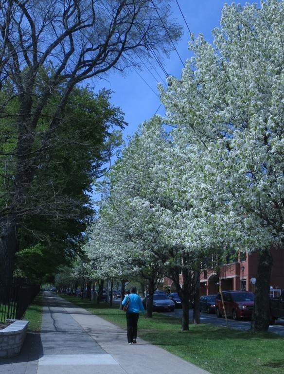 Pyrus (Ornamental pear tree) outside the Halifax Public Gardens
