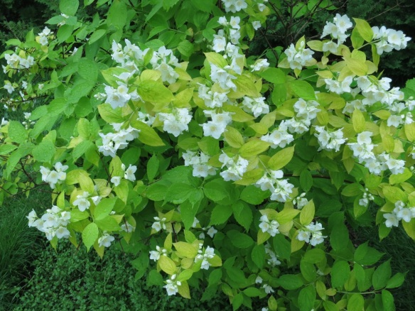 Philadelphus coronarius 'Aureus' (Mock orange shrub) at the Halifax Public Gardens