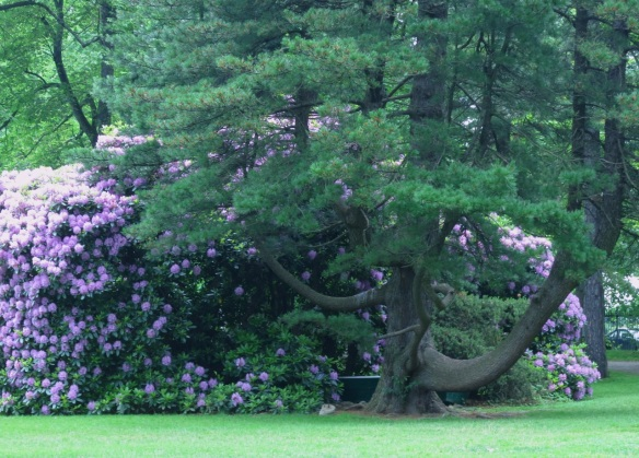 Pinus cembra (Swiss Stone Pine) at the Halifax Public Gardens