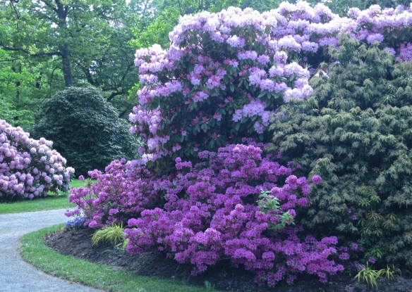 Rhododendrons 2013 at the Halifax Public Gardens