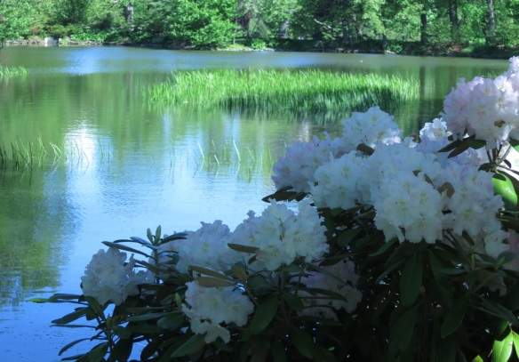 Rhododendrons by Griffin's pond at the Halifax Public Gardens