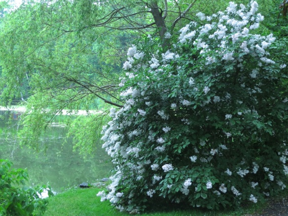 Syringa reticulata (Japanese Tree Lilac) at the Halifax Public Gardens