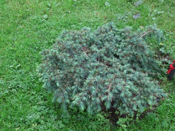 Cedrus atlantica 'Glauca Pendula' (Weeping Blue Atlas Cedar) at the Halifax Public Gardens
