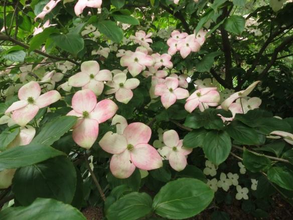 Cornus kousa (Flowering Dogwood)
