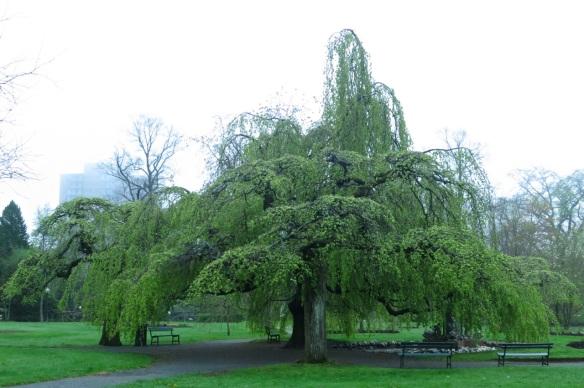 Fagus sylvatica 'Pendula' (Weeping European Beech) at the Halifax Public Gardens