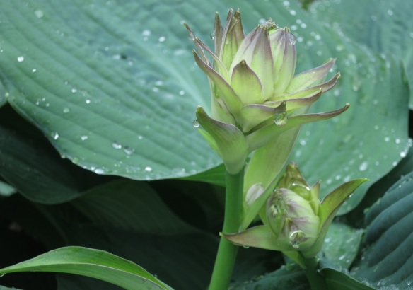 Hosta at the Halifax Public Gardens