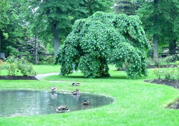 Ulmus glabra 'Camperdownii' (Camperdown Elm) at the Halifax Public Gardens