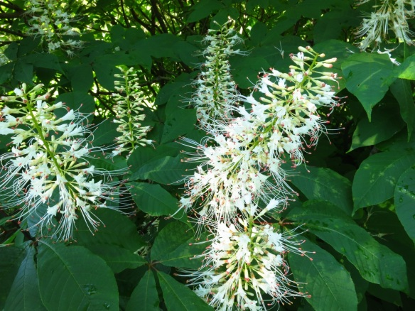 Aesculus glabra (Ohio Buckeye) at the Halifax Public Gardens