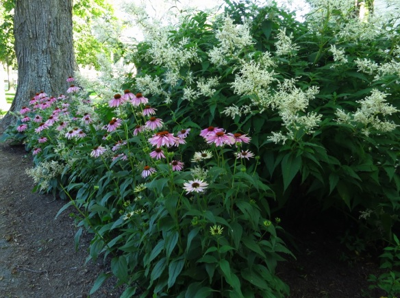 Echinacea and Persicaria polymorpha ( Giant fleeceflower) at the Halifax Public Gardens