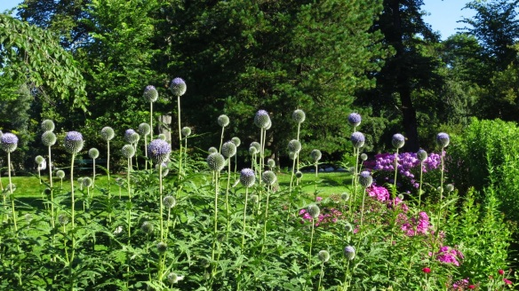 Echinops (Globe Thistle at the Halifax Public Gardens