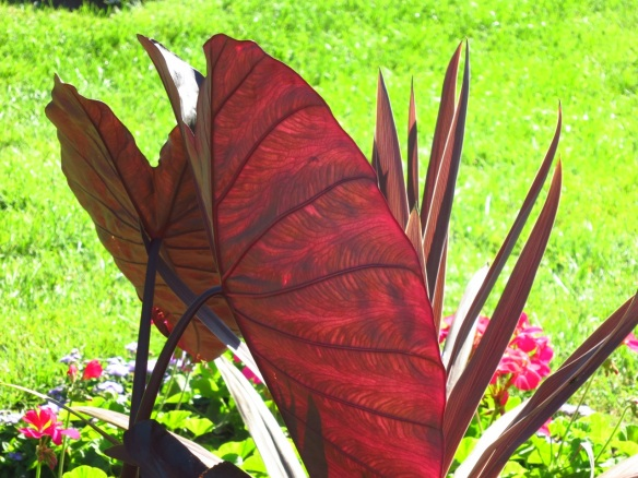 Sunlit Colocasia at the Halifax Public Gardens