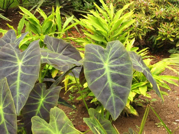 Colocasia (Elephant Ears) at the Halifax Public Gardens