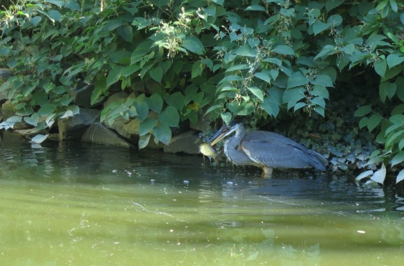 Great Blue Heron and dinner at the Halifax Public Gardens