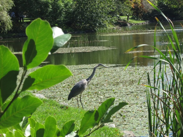 Great Blue Heron at the Halifax Public Gardens