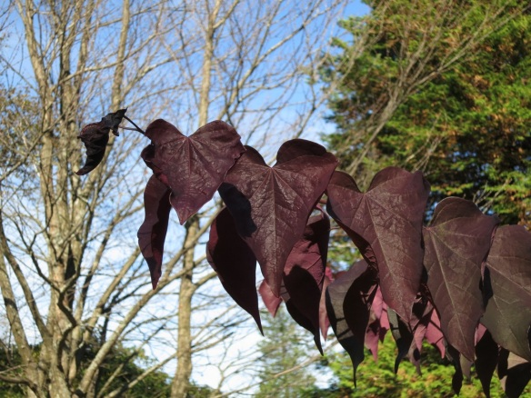 Cercis canadensis 'Forest Pansy' (Redbud) at the Halifax Public Gardens