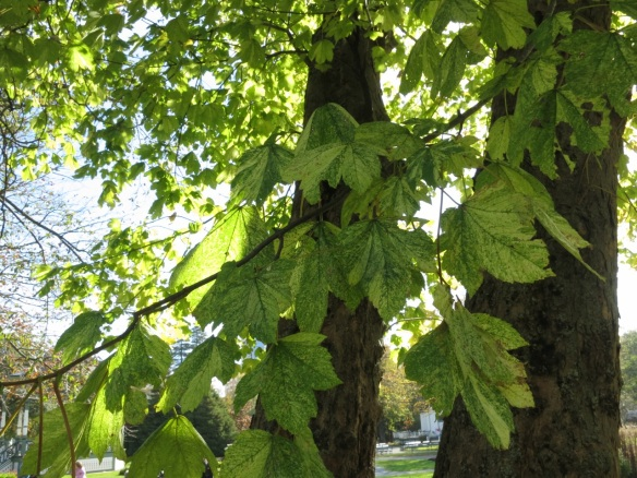 Acer pseudoplatanus f. aureovariegatum (Variegated Sycamore Maple) at the Halifax Public Gardens