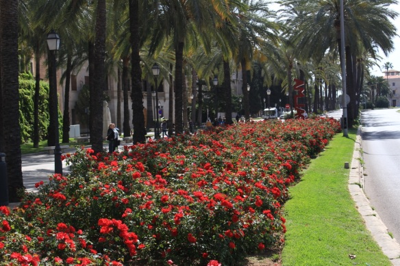 The red roses of Palma
